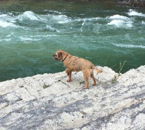 Border Terriers needing Adoption