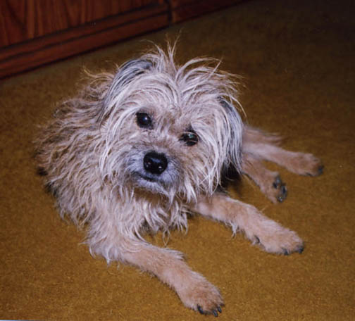 Wire Haired Terrier Mix