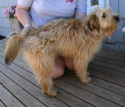 Border Terrier Dog Breed Information, Pictures, Characteristics ... | 342x400